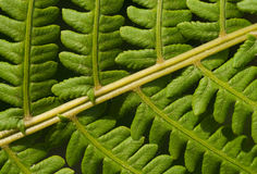 Leaves of fern. Green leaves of tropical fern Royalty Free Stock Image