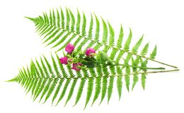 Leaves of a fern and branch the roses Royalty Free Stock Photos