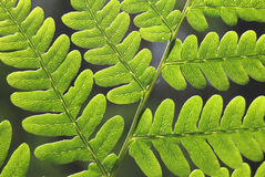 Leaves of fern - Dryopteris filix-max. Royalty Free Stock Photography