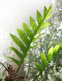 Leaves fern. The leaves fern are growing in rainy season royalty free stock images