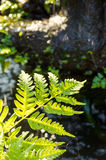 Leaves of fern Royalty Free Stock Images