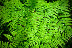 Leaves of fern. Natural background Stock Photo