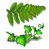 Leaves of fern and vine plant isolated on white background. Vector plants in cartoon style. Two images Royalty Free Stock Photos