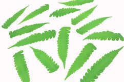 Leaves ferns on white blackground. royalty free illustration