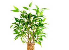 Leaves of Ficus Benjamina Royalty Free Stock Photography