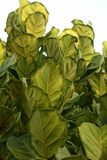 Leaves of Ficus lyrata. Stock Photography