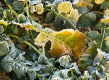 Leaves in a field covered with white frost Stock Image