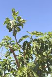 Leaves of a fig tree in a blue sky Royalty Free Stock Photo