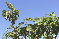 Leaves of a fig tree in a blue sky, summertime Stock Images