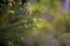 Leaves of fir tree with buds royalty free stock photo