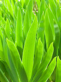 Leaves the first spring a gladiolus Stock Photos