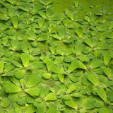 Leaves floating on pond. A view of a cluster of leaves from lake plants floating on top of a pond Royalty Free Stock Photos