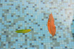 These leaves floating in the pool offer a nice relaxing sighting and a reminder that all pools need to be maintained. If you have. A spa or a pool and there are royalty free stock photos