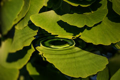 Leaves floating on water Stock Photography
