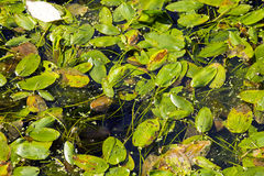 Leaves floating on water Royalty Free Stock Images