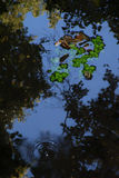 Leaves floating in the water Royalty Free Stock Photo