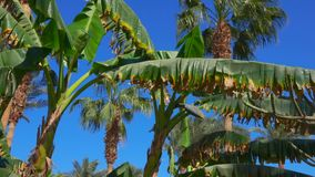 Leaves and flower of a banana tree on a sunny day. Movement of the camera along the leaves and flower of a banana tree on a bright sunny day stock video footage
