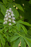 The leaves and flower of horse chestnut (lat. Aesculus) Royalty Free Stock Images