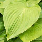 Leaves flower Hosta fortunei Royalty Free Stock Images