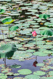 Leaves and flower of lotus in pond Royalty Free Stock Image