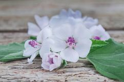 Medicinal herb Althaea. The leaves and flowers of Althaea officinalis. Althaea have medicinal properties. Medicinal herb marsh mallow Royalty Free Stock Images
