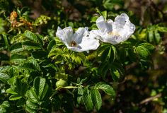 Leaves, flowers and fruits of white wild rose on the Curonian Spit, Russia royalty free stock photo