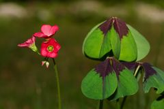 Iron Cross plant. Leaves and flowers of Iron Cross plant, also known as Four-leaved pink-sorrel royalty free stock photos