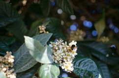 Leaves and flowers of nespolo giapponese Eriobotrya japonica Royalty Free Stock Images