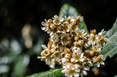 Leaves and flowers of nespolo giapponese Eriobotrya japonica Royalty Free Stock Photos