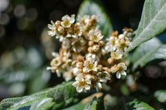 Leaves and flowers of nespolo giapponese Eriobotrya japonica Stock Images