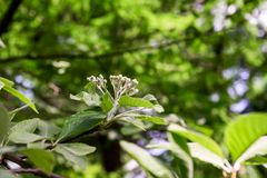 Leaves and flowers of Sorbus graeca is close. Up stock images