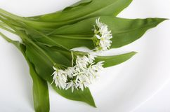 Ramsons. Leaves and flowers of wild bear garlic on a white background Stock Photos
