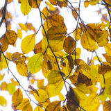 Leaves in fog at the tree in indian summer colors Stock Photography