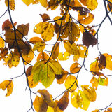 Leaves in fog at the tree in indian summer colors Royalty Free Stock Photo
