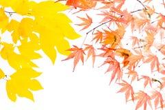 Leaves, foliage, Studio Shot, Maple, Stock Photo
