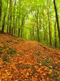 Leaves forest at end of summer, beech trees at near autumn forest surrounded by fog. Rainy day. Royalty Free Stock Photo