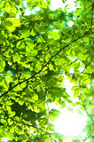 Leaves in forest with sun Stock Photography