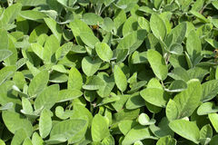 Leaves fragrant sage Royalty Free Stock Photos