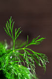 Leaves fresh dill with drops of dew Royalty Free Stock Image