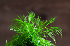 Leaves fresh dill with drops of dew Stock Photography
