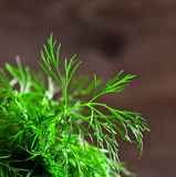 Leaves fresh dill with drops of dew Royalty Free Stock Photo