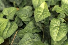Leaves of fresh green ivy closeup Royalty Free Stock Photography