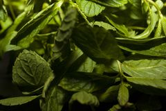 Leaves of fresh, green and vibrant mint royalty free stock photos