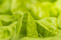 Leaves of fresh lettuce with water drops. Lush green leaves of fresh lettuce with water drops Royalty Free Stock Photography