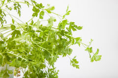 Leaves of fresh parsley on a white background Royalty Free Stock Photos