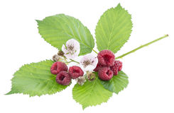 Leaves with fresh Raspberry fruits. Isolated on white background Royalty Free Stock Images
