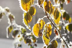 Leaves in the frost royalty free stock photography