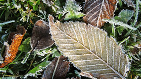 The leaves and frost Stock Image