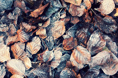 Leaves with frost Royalty Free Stock Images