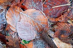 Leaves with frost Stock Photos